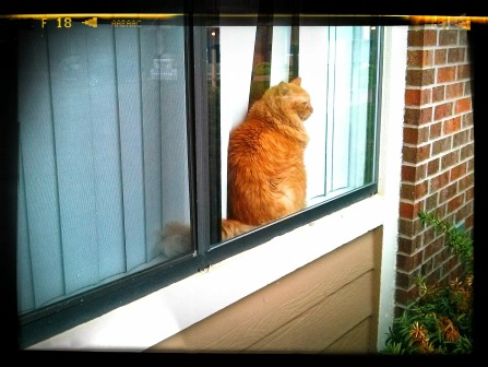 WHO HAS THE CUTEST ORANGE TABBY SITTING IN A WINDOW? I DO!