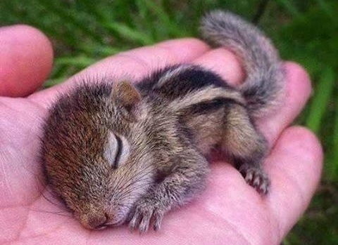 I DON'T CARE WHAT CHARLIE OR ANYONE ELSE SAYS, I WOULD LOVE TO HOLD A BABY LITTLE CHIPMUNK IN MY HAND. THIS TINY CREATURE IS SO ADORABLE!